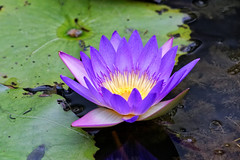 Sepang Purple Lily - Revisited (blueyshutta) Tags: nikon lily purple malaysia sepang lilypond purplelily nikond750 nikon200500mmf56