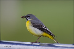 Grey Wagtail 030516(11) (Gertj123) Tags: food bird nature netherlands birds yellow spring bokeh regge