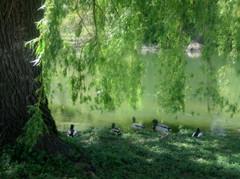 Dreaming In Green (moodyfan (Julie)) Tags: light green river ducks willow mallard weepingwillow