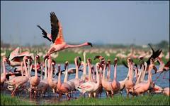 Lesser Flamingos (Phoeniconaias minor) (mihir_dhandha) Tags: pink birdphotography lesserflamingo canonkitlens phoeniconaiasminor canoneos7d caon55250mm