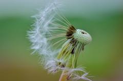Calm (epioxi) Tags: macro wind blumen dandelion stille lwenzahn epioxi