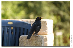 Amsel / Schwarzdrossel (Mr.Vamp) Tags: bird birds aves turdusmerula vgel blackbird vamp vogel amsel passeriformes chokes schwarzdrossel singvgel passeri sperlingsvgel passerinebirds drosseln mrvamp songbirdspasseri