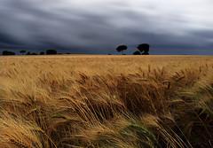 agua de mayo (mesana62) Tags: sunset sky storm nature silhouette yellow clouds rural landscape sevilla spain free samsung andalucia note trigo mesana cylon13