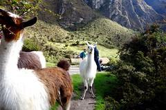Day 2_Dead Women's Pass (sherwin907) Tags: alpaca machu picchu inca trek hike trail machupicchu incatrail inkatrail expeditions cuscoperu