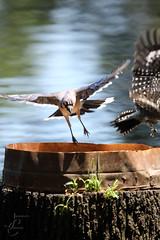 Bok Tower & Gardens (Jasmine'sCamera) Tags: boktower gardens nature florida wildlife birdfeeder woodpecker bluejay cardinal
