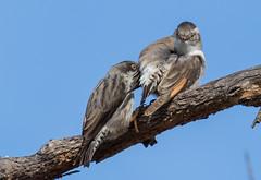 Varied Sittella - Daphoenositta chrysoptera-8367 (rawshorty) Tags: birds australia canberra campbell act rawshorty