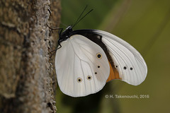 Taenaris schoenbergi schoenbergi (Hiro Takenouchi) Tags: butterfly butterflies papua nature insect indonesia papillon schmetterling nocrop taenaris