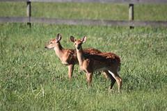 IMG_9176 (thinktank8326) Tags: nature wildlife deer spots fawn whitetaileddeer babyanimal