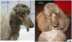 Bathtime (Pirate67) Tags: bathtime wet shampoo standardpoodle poodle dogs brownpoodles