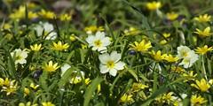 Spring Flowerrs (Mark A C Photos (Downloadable)) Tags: yellow spring flowers coleton fishacre primroses celandines primula ranunculus