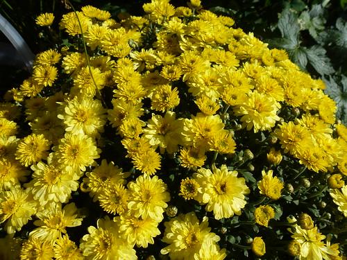 A Mass of Yellow!