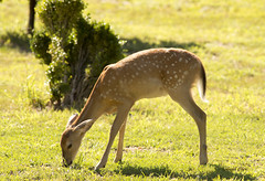 DSC_1640 (Angel Cher ) Tags: fawn whitetailed deer
