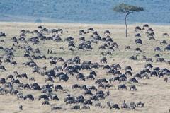 Lots of Wildebeests (Kitty Kono) Tags: wildebeests masaimara kenya kittyrileykono africa greatmigration