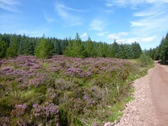 Purple heather, Bannachra Muir, near Helensburgh (luckypenguin) Tags: scotland lochlomond helensburgh balloch johnmuirway heather