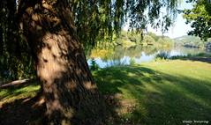 Trauerweide am Fluss (diwe39) Tags: sommer2016 main trauerweide baum
