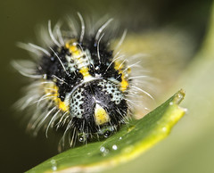 Caterpillar (Debbie Deboo) Tags: caterpillar nature insects macro wildlife hairy spiky stripy leaves green droplets