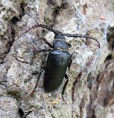 Prionus coriarius male - Brockenhurst, New Forest 2016c (Steven Falk) Tags: prionus coriarius tanner beetle steven falk