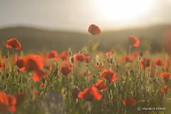 Spring photo. (mucahidefendi) Tags: poppies nature nikon macro flowers