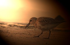The early bird catches the worm (hardy-gjK) Tags: birds vogel schnepfe snipe water wasser eau ufer strand shore beach plage rivage oiseau morning light sun lever du soleil sonnenaufgang nikon photoshop