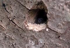 Pemphredon cf lugubris f - 11 X 2016 (el.gritche) Tags: hymenoptera france 40 garden crabronidae pemphredon lugubris pemphredonlugubris nest behavior