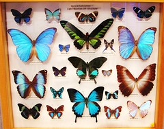 Morpho and Swallowtail Butterflies --  University of Florida collections 9108 (Tangled Bank) Tags: florida museum natural history butterfly butterflies moth collection tray cabinet insect lepidoptera arthropod