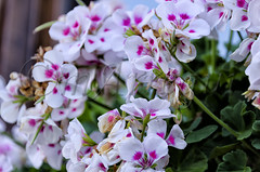 Explosin de pequeo color (mArregui) Tags: wwwarreguimeluscom marregui nikon flor flores floracin florido flora cantabria santander racimodeflores planta