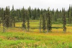 McKinley Explorer ~ more views from the train (karma (Karen)) Tags: mckinleyexplorer alaska trees spruce ponds