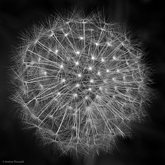 12 Close-up (manxmaid2000) Tags: dandelion head bloom seeds nature wild monochrome plant outdoor flower clock abstract weed square black white fine detail macro round