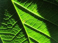 An Imaginary Forest #183 (tt64jp) Tags: 植物 japan japanese 日本 nature green plants leaf leaves forest 森 葉 自然 plant flora foliage 群馬 桐生 gunma kiryu 緑 葉っぱ vein みどり アカメガシワ japanesemallotus mallotus 赤芽槲 赤芽柏 葉脈 japon 일본 veins