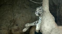Zoologico de Huachipa - Tigre blanco (jimmynilton) Tags: blanco tigre