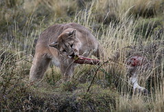 Puma having a bite from her guanaco dinner (Paul Cottis) Tags: chile patagonia mammal 7 bigcat april puma cougar mountainlion 2015 paulcottis