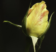 Yellow Rose in the Darkness