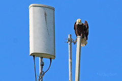 Bald Eagle on a Microwave Tower 15-0528-4035 (digitalmarbles) Tags: canada bird tower nature animal bc eagle wildlife baldeagle bald columbia raptor british microwave birder haliaeetusleucocephalus birdofprey lowermainland birdphotography deltabc wildlifephotography birdphoto