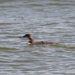 Common Loon (2) thumbnail