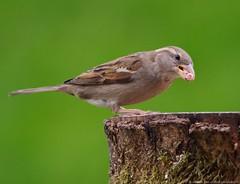 female house sparrow (3) (Simon Dell Photography) Tags: uk england simon nature birds photography pentax photos wildlife sheffield may sigma apo dell xxx dg 2016 k50 s12 hsm hackenthorpe 150500mm