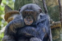 wry smile (ucumari photography) Tags: animal mammal zoo nc chimp jonathan north may carolina chimpanzee 2016 specanimal specanimalphotooftheday ucumariphotography dsc2003 pantroglodyte