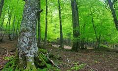La primavera verde (alcoyote89) Tags: primavera spain asturias espagne haya redes fagus casu