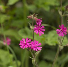Red Campions (l4ts) Tags: landscape derbyshire peakdistrict limestone wildflowers whitepeak millersdale priestcliffelees redcampions britnatparks derbyshirewildlifetrust
