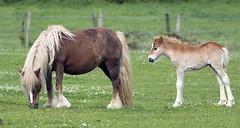 Palomino and foal_Views from Haying Billy Line Walk_220516_BZ37Views from Haying Billy_220516_BZ37 (Barry Zee) Tags: nikon haylingisland motherandchild palomino foal haylingbilly d7100 200400mmf4 nikon200400mmf4vr