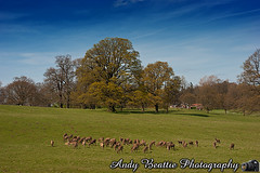 2016-05-04-054 (Andy Beattie Photography) Tags: uk england nature landscape mammal photography europe photographer wildlife yorkshire deer halifax ungulate northyorkshire westyorkshire ripon eventoed pecora cervusnippon sikadeer hoofed andybeattie andybeattiephotography