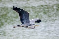 Grey Heron Flyby (ardea cinerea) (phat5toe) Tags: nature birds nikon wildlife feathers ardeacinerea avian wigan flashes greyheron wader greenheart lancashirewildlifetrust d7000 sigma150500