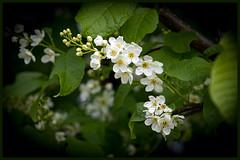 Blhender Baum (Tatjana_2010) Tags: blossom blumen baum frhling blten blhenderbaum