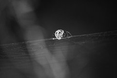 IMG_8102 (Nixson K) Tags: home nature insect photography spider explore andhra blackandwhitephotography canon600d natgeoshots natgeoindia