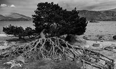 A tree (DJNanartist) Tags: lakedistrict lambs derwentwater keswick skiddaw blencathra anartist keswicklaunch bunnylamb nikond7100 tamron16300mm