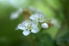 DSC_0122.NEF (tibal26) Tags: flower closeup natural x10
