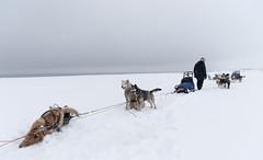 Svalbard 2016-398 (Cal Fraser) Tags: dog dogs norway svalbard arctic sj himalaya nico sleddog sledge spitzbergen sledgedog sledgedogs jetpak svalbardandjanmayen