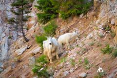 Mountain Goats (Jared Ropelato) Tags: trees lake mountains nature pine clouds forest sunrise river goat idaho adventure stanley elk wilderness silvercreek redfish mountaingoat sawtooths 2016 ropelato
