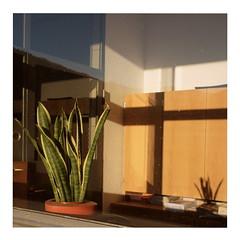 Potted Plant & Shadow (ngbrx) Tags: shadow plant reflection window schweiz switzerland suisse fenster pflanze bern svizzera berne schatten spiegelung berner bernese reflektion meiringen oberland oberhasli haslital schattenhalb