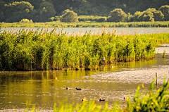 Vita lacustre (skynyrd_01) Tags: lago di vico caprarola viterbo francesco cristiani italia skynyrd01 nikon d7000 tamron 70200mm f28 kingston sd acqua verde vegetazione uccelli birds