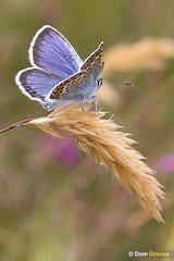 Silver-studded settled (Dom Greves) Tags: butterfly dorset heathland insect invertebrate july plebeiusargus silverstuddedblue summer uk wildlife